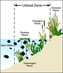 Littoral Zone Graphic